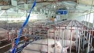 Giá lợn hơi giảm sâu, người nuôi hạn chế tái đàn cuối năm