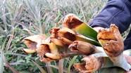 Dứa thối nõn, nông dân Nghệ An thiệt hại hàng chục tỷ đồng