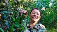 Mùa thu hoạch sở ở Quỳnh Lưu
