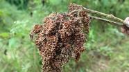Bí quyết chữa bệnh lở mồm long móng cho trâu bò bằng lá rừng