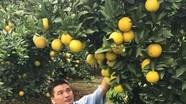Cây cam hơn 1000 quả duy nhất ở Nghệ An