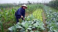 Đô Lương trồng bầu, bí vụ đông thu nhập trên 100 triệu đồng/ha