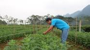 Nông dân Anh Sơn chuyển đổi đất màu để trồng hoa Tết