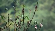 Nghệ An: Hoa đào nở bung trong rét đầu mùa
