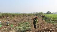 Nông dân nhộn nhịp vào mùa thu hoạch mía nguyên liệu
