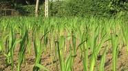 Nông dân Nghĩa Đàn tận dụng đất vườn trồng hoa Tết