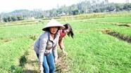 Nông dân Nghệ An trồng hành tăm VietGAP