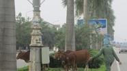 Chủ tịch UBND TP.Vinh: Xấu hổ khi trâu, bò thả rông đầy đường ở đô thị loại I