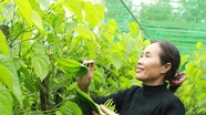 Nghệ An: Nông dân dựng nhà lưới trồng trầu không, thu tiền tỷ