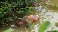 Nghệ An: Kinh hoàng dân vứt xác lợn chết ra môi trường tại 'tâm dịch' Thanh Chương