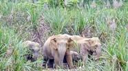 Đầu tư gần 87 tỷ đồng bảo tồn đàn voi ở Nghệ An