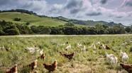 Ông Tây thu nhập hơn 2.200 tỷ/năm từ nuôi gà thả đồi
