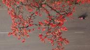 Khó rời mắt hình ảnh hoa gạo tháng 3