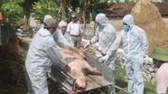 Nghệ An: Một số địa phương chậm chi trả hỗ trợ tiêu hủy lợn bị dịch tả châu Phi