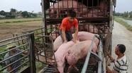 Giá lợn hơi hôm nay 31/8 tiếp tục giảm mạnh