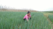Nông dân Anh Sơn trồng hành hoa cho thu nhập 7 triệu đồng/sào
