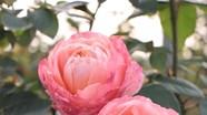 """Quà 8/3: Hoa hồng """"khủng"""" giá trăm triệu đắt khách"""