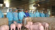 Virus dịch tả lợn châu Phi không lây lan qua không khí