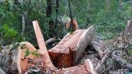 Phạt đến 1 tỷ đồng hành vi khai thác gỗ rừng trái phép