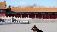 """Trung Quốc: Những chú chó """"bỏ ăn Tết"""" để bảo vệ báu vật quốc gia"""