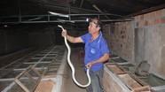 Lão nông U50 nuôi rắn độc thu hàng trăm triệu đồng
