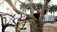 Ngắm cây đào rừng 'khủng' giá 80 triệu đồng