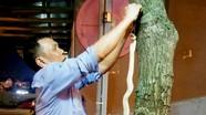 Bắt rắn hổ mang dài hơn 1m ở gần khu chung cư