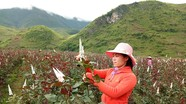 Nữ cán bộ 8X bỏ việc ở xã về nhân giống trồng 6ha hoa hồng