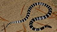 Mua rắn độc về làm thú cưng, thiếu nữ bị cắn đến chết não