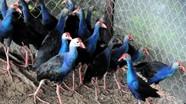 """Loài chim nuôi """"giữ nhà"""", bán 1 - 1,5 triệu đồng mỗi con"""