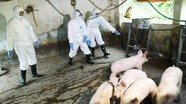 Việt Nam sản xuất thử nghiệm thành công vắcxin phòng dịch tả lợn châu Phi
