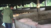 Dù giá thịt lợn tăng chóng mặt, Nghệ An không mở rộng đàn ồ ạt