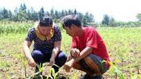 Nghệ An: Sâu keo mùa thu tàn phá hàng nghìn ha ngô