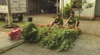 Phát hiện gần 300 cây cần sa trồng trái phép trong rẫy cà phê