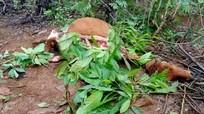 Nghệ An: Khởi tố 4 người đàn ông giết bò của người khác, lấy thịt ăn