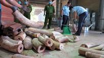 Thu giữ 9,1 tấn ngà voi ngụy trang trong lô hàng gỗ xẻ