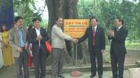 """Cây thị 500 năm tuổi ở Nghệ An được vinh danh """"Bách niên cổ mộc"""""""