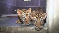 Video: Cận cảnh 7 cá thể hổ con từ vụ buôn bán động vật hoang dã được chăm sóc tại VQG Pù Mát