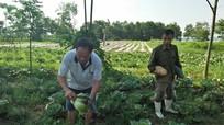 Lần đầu tiên, trồng bắp cải Israel trái vụ ở Thanh Chương