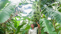 Lá chuối ở nước ngoài cao gấp 20 - 30 lần lá chuối Việt