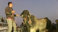 Con bò nặng gần 1 tấn, bán giá 82 triệu đồng ở chợ trâu bò lớn nhất Nghệ An