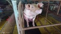 Giá lợn hơi liên tục lao dốc