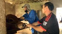 Bệnh viêm da nổi cục trâu, bò lây lan mạnh ở Diễn Châu