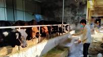 Ngăn ngừa dịch bệnh phát sinh trên đàn vật nuôi sau mưa lũ