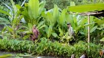 Trồng chuối rừng lấy lá, nhiều hộ vùng cao Nghệ An thu nửa triệu đồng/ngày
