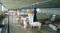 Không cho phép chăn nuôi trong khu vực nội thành, nội thị?