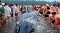 2 con cá voi dạt vào bờ biển Nghệ An