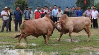 Về cực tây Nghệ An xem chọi bò vui Tết Độc lập