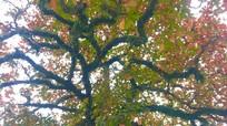 Vẻ đẹp nao lòng mùa lá đỏ của cây bàng cổ gần 250 tuổi
