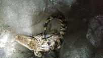 Nghệ An: Người dân bắt được cá sấu khi đang câu cá